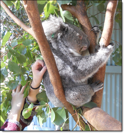 Saving Koalas Using Genomics Research and Cloud Computing